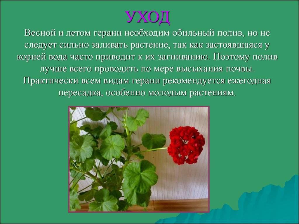 Описание лучших сортов душистой герани. особенности выращивания и размножения растения