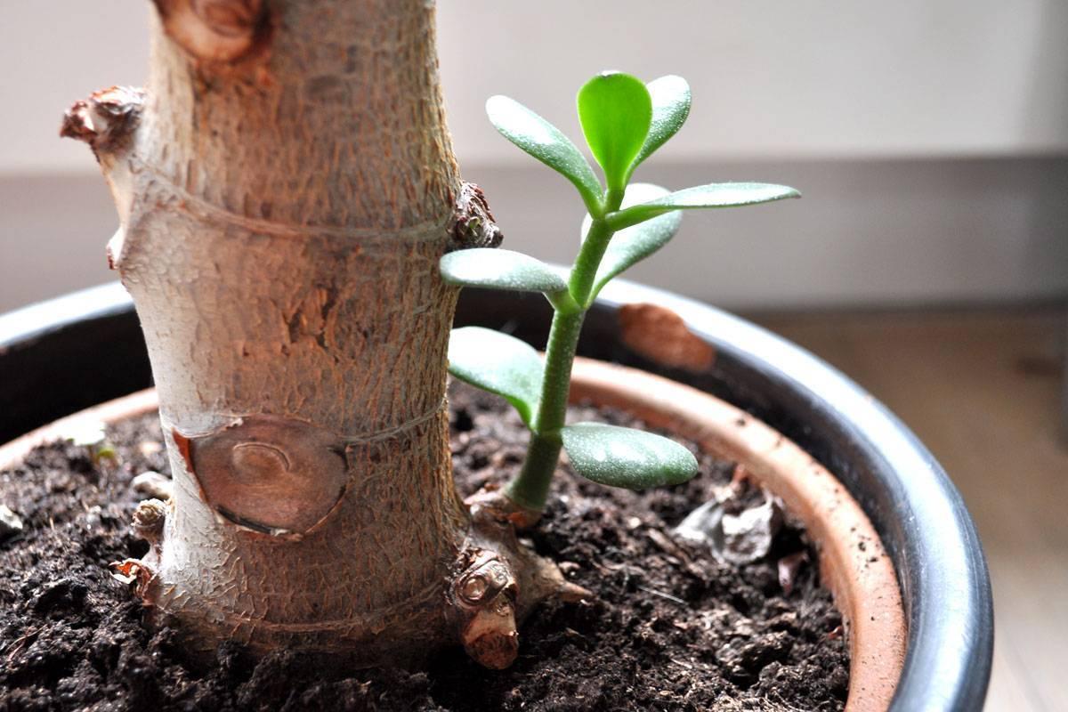 Как размножить денежное дерево в домашних условиях