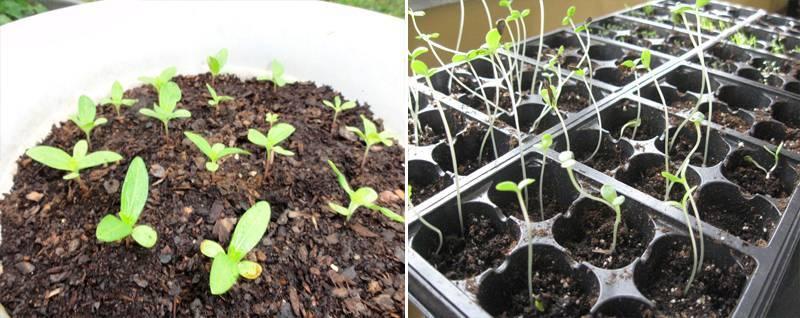 Секреты выращивания цинии из семян