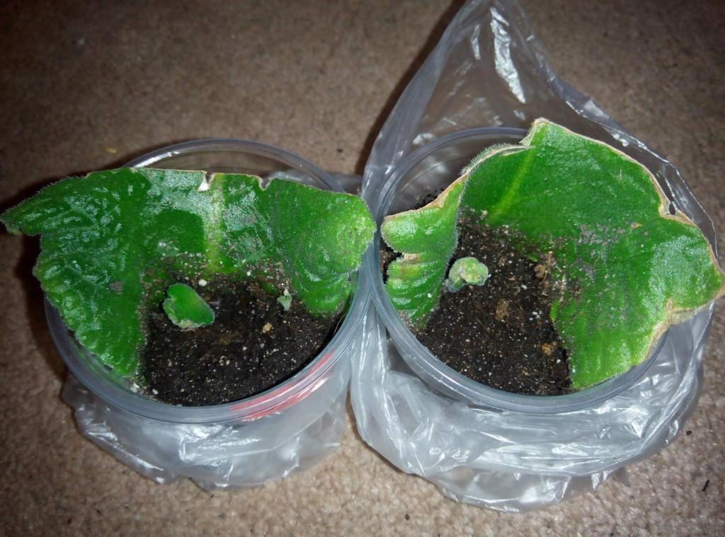 Стрептокарпус: выращивание, уход, рассаживание и размножение семенами в домашних условиях, а также фото цветка, его болезни и их лечение