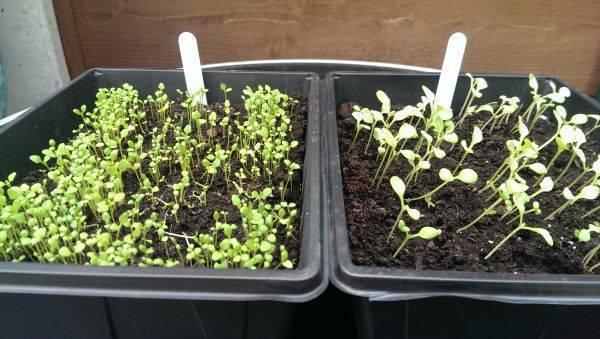 Немезия: посадка и уход, фото цветов, выращивание из семян