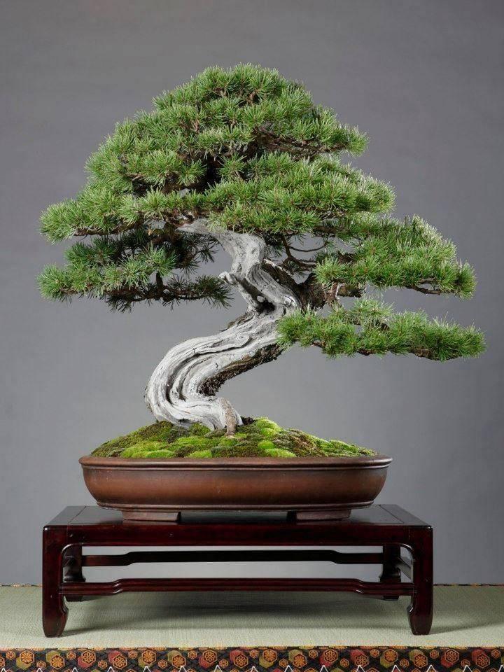 Дерево бонсай: 5 основных видов и правила ухода