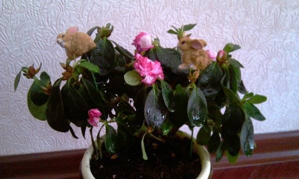Почему опадают цветы у декабриста?  что делать, если рождественник сбрасывает бутоны? можно ли опрыскивать цветок во время бутонизации? особенности ухода за декабристом