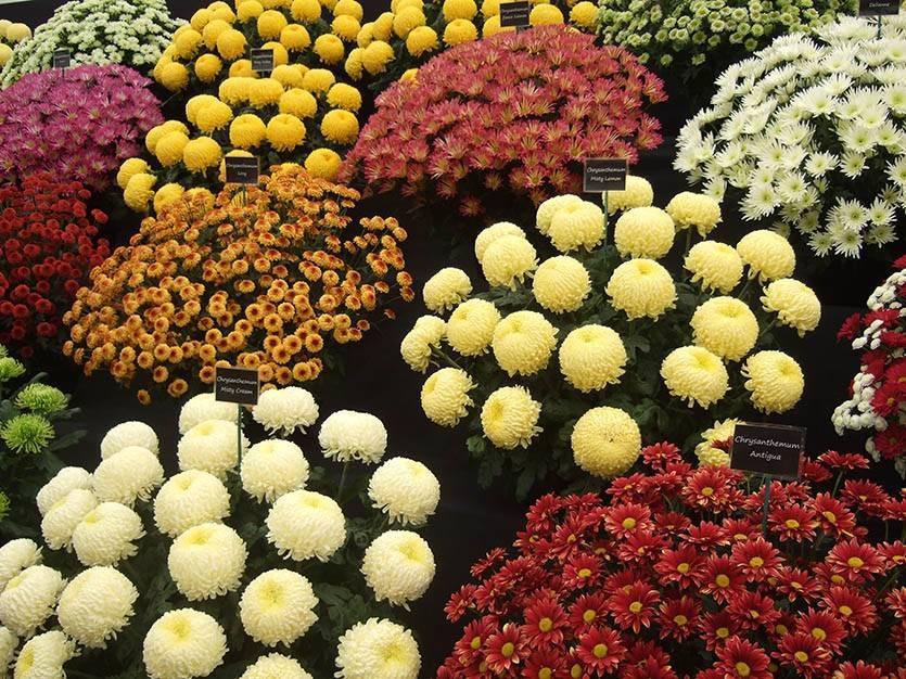 Хризантема мультифлора: 50 фото, виды и сорта, как ухаживать