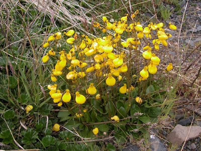 Цветы кальцеолярии (сalceolaria uniflora): посадка семян, условия выращивания