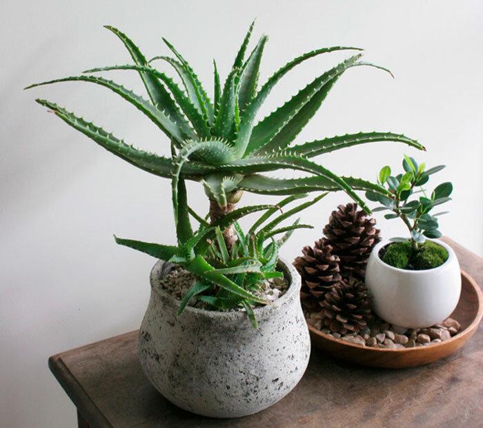 Столетник: что это такое и как выглядит, как определить возраст цветка, и фото, описание растения, семейство алоэ древовидного, уход в комнатных условиях, польза