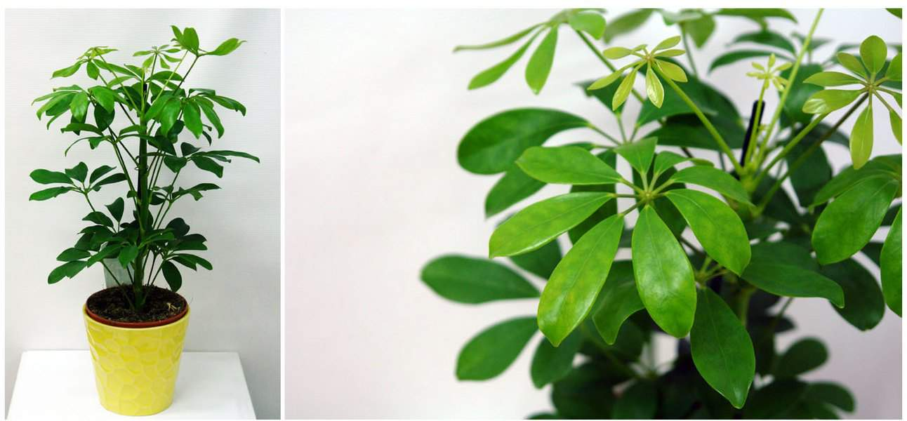 Комнатное растение шефлера — выращивание и уход в домашних условиях