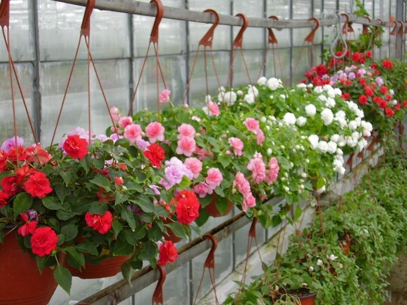 Бальзамин садовый: особенности, посадка и уход