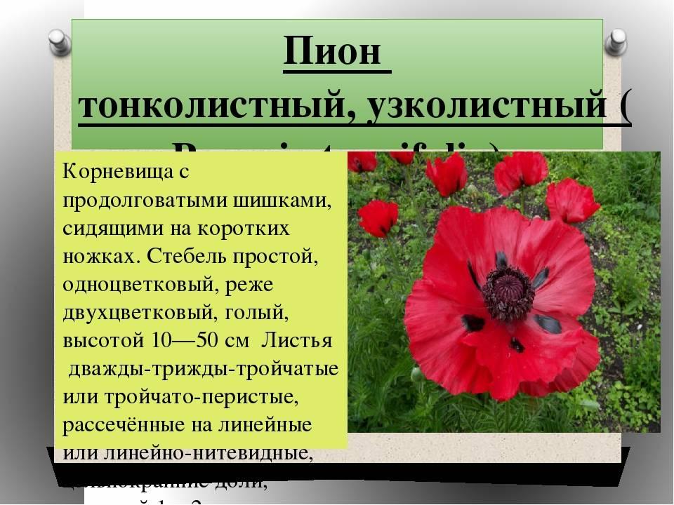 Все о тонколистном лекарственном пионе оффициналис (officinalis) рубра плена