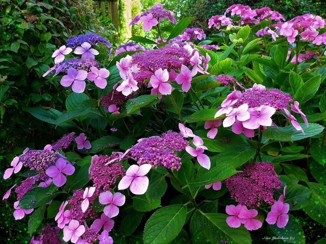 Крупнолистные крупноцветковые гортензии: выращивание на даче, кислотность почвы
