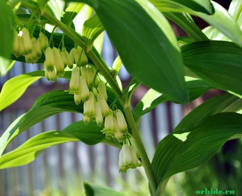 Многоцветковая купена: описание сорта, уход и выращивание в открытом грунте
