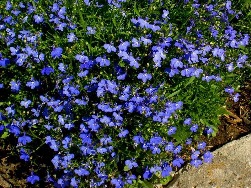 Почвопокровные растения для сада: виды и выращивание