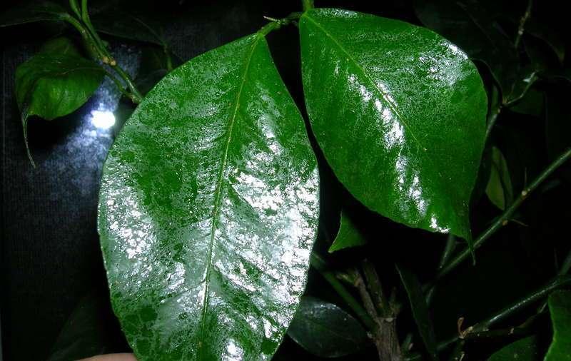 У комнатных растений сохнут листья и засыхают кончики листьев: что делать