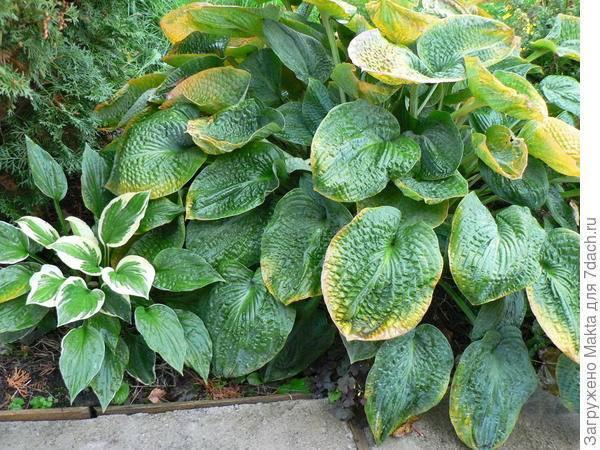 Хоста: болезни листьев, почему желтеют листья у хосты, и что делать?