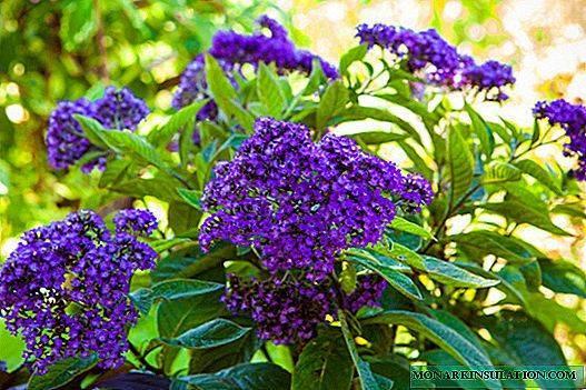 Гелиотроп цветок — выращивание из семян