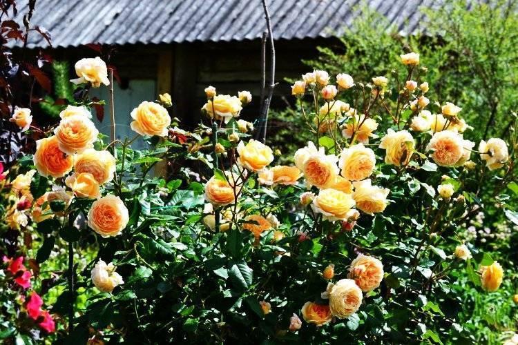 Роза принцесса маргарет: выращивание, фото и описание. роза принцесса маргарет: выращивание, фото и описание роза сорт кроун принцесса маргарет