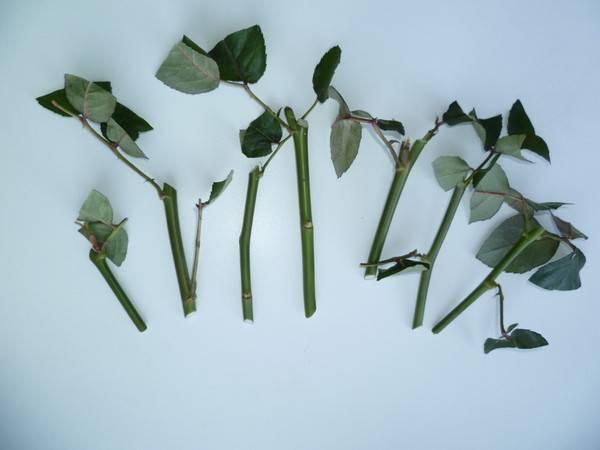 Как сажать китайскую розу