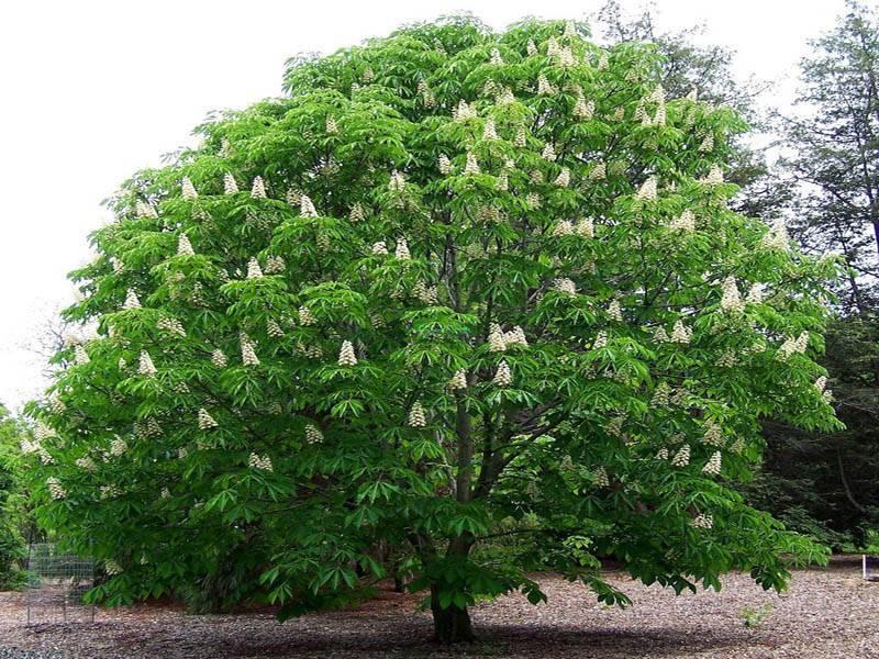 Эффектный экспонат в ландшафтном дизайне — дерево каштан