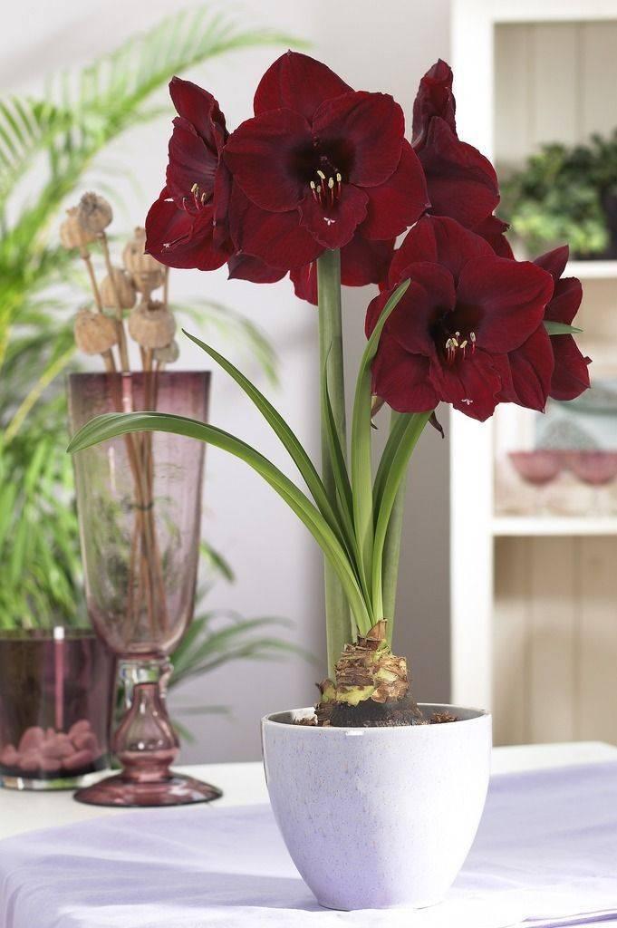 Все о цветке амариллис: фото и описание - прекрасной дамы из южной африки