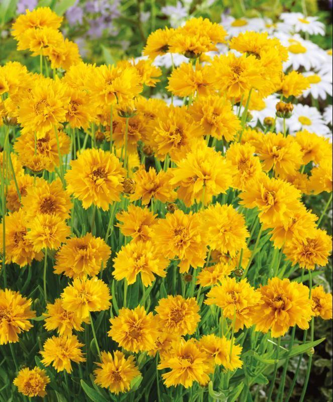 Цветы кореопсис