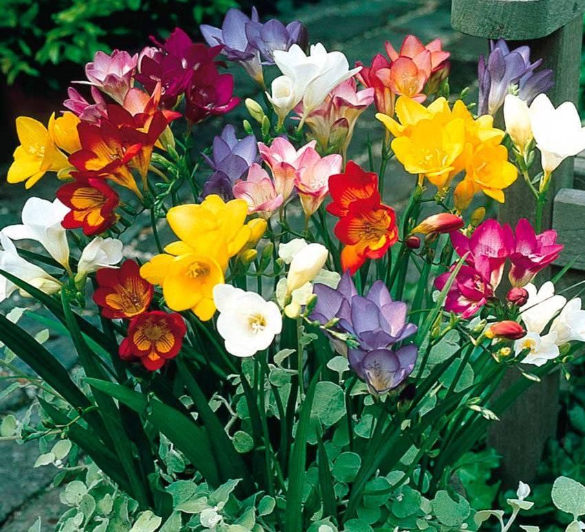 Выращивание фрезии в открытом грунте и уход за цветком