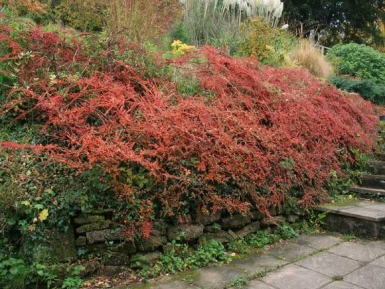Кустарник кизил: посадка и уход в открытом грунте, правильная обрезка растения