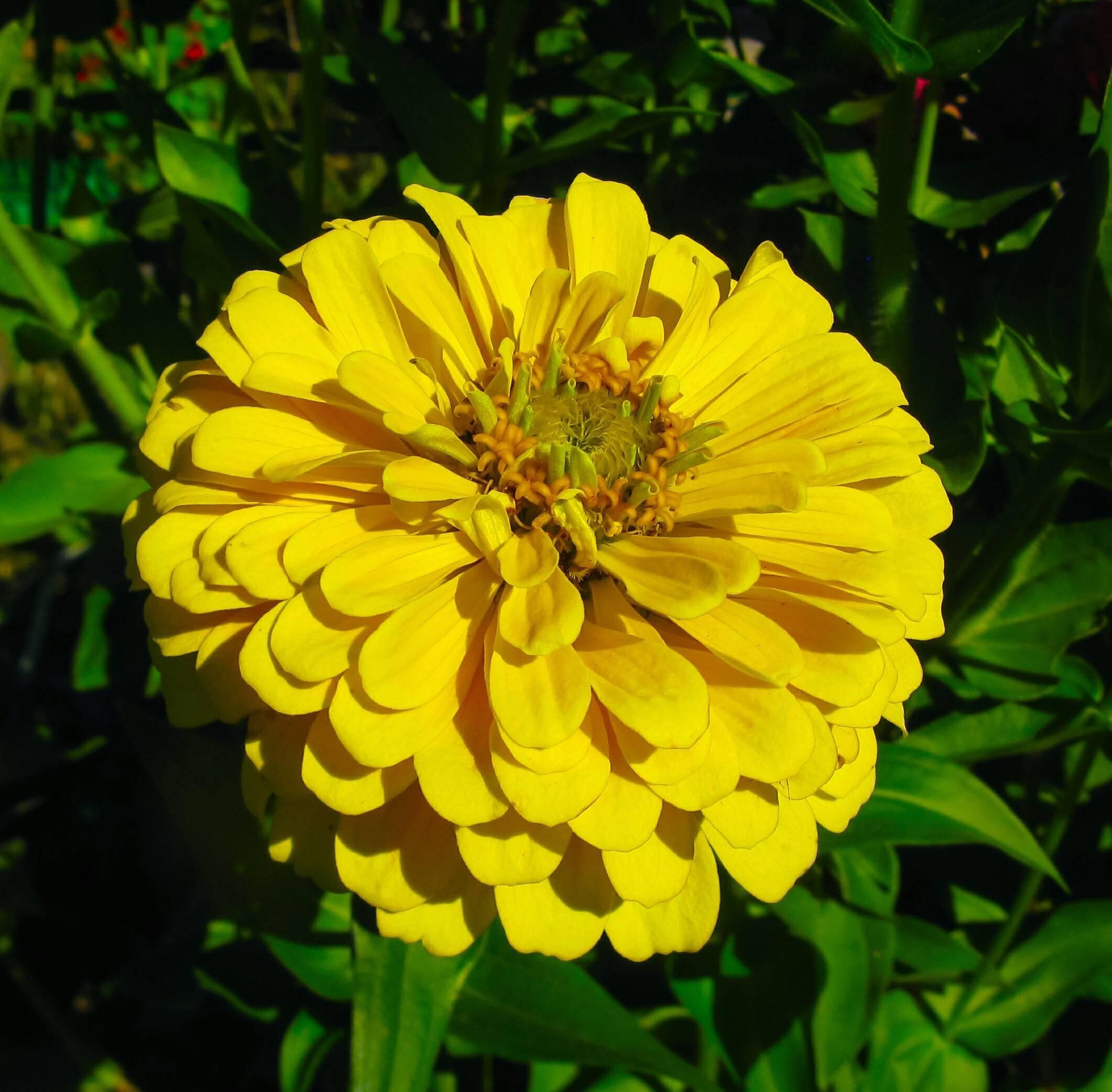 Циния: виды, сорта, названия с фото и описанием