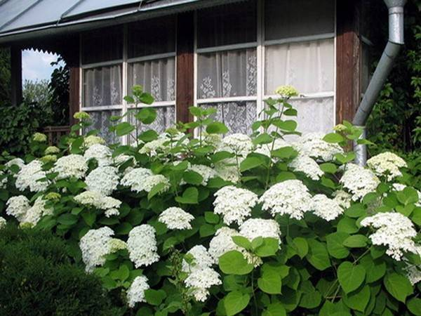 Цветок гортензия комнатная: как ухаживать за растением в горшке, почему сохнут листья в домашних условиях,фото, зачем подкармливать зимой, и почему не цветет,болезни