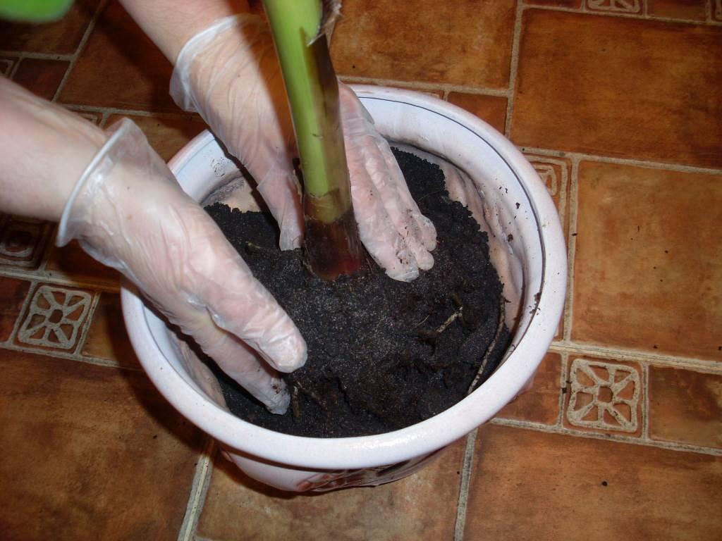 Калатея макоя: уход в домашних условиях, болезни, вредители и фото