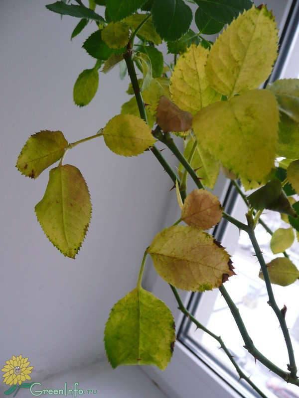 Почему у розы желтеют листья и что с этим делать