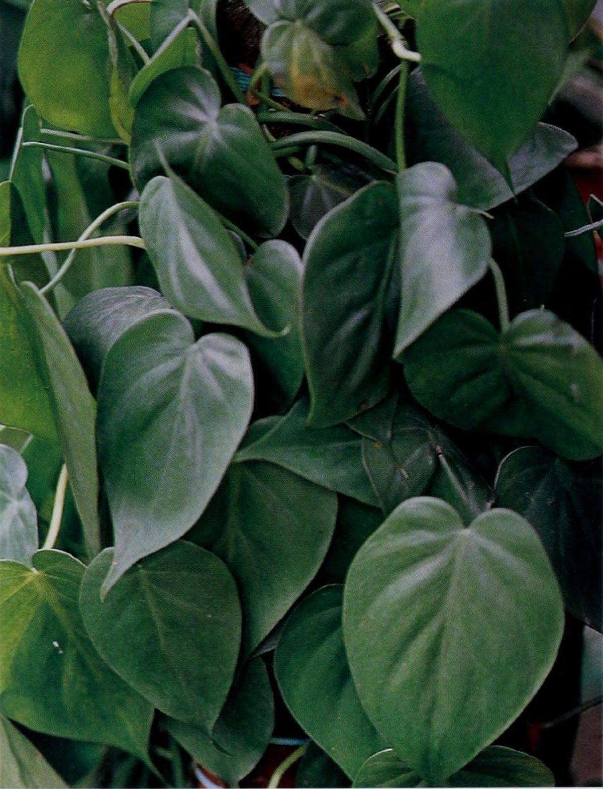Филодендрон philodendron - виды, уход, проблемы выращивания, пересадка, размножение