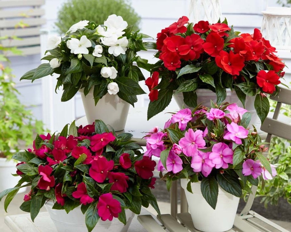 Комнатные цветы и цветущие растения  с названиями