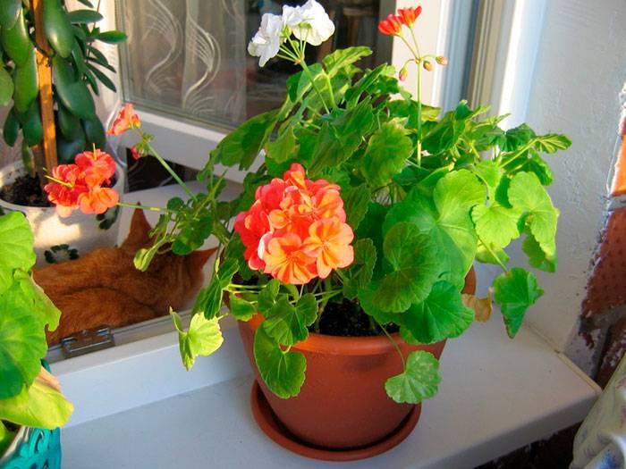 Как заставить цвести гиппеаструм в домашних условиях: что делать, если не цветет