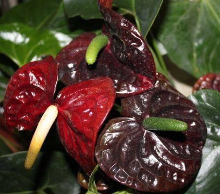 Особенности выращивания антуриума черного в домашних условиях: сорта блэк квин, блэк лав