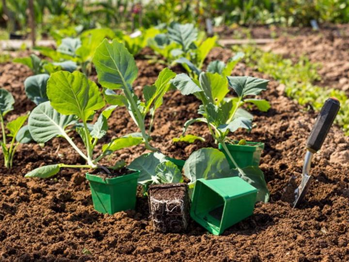 Агротехника выращивания спиреи аргута в открытом грунте: как ухаживать, удобрять