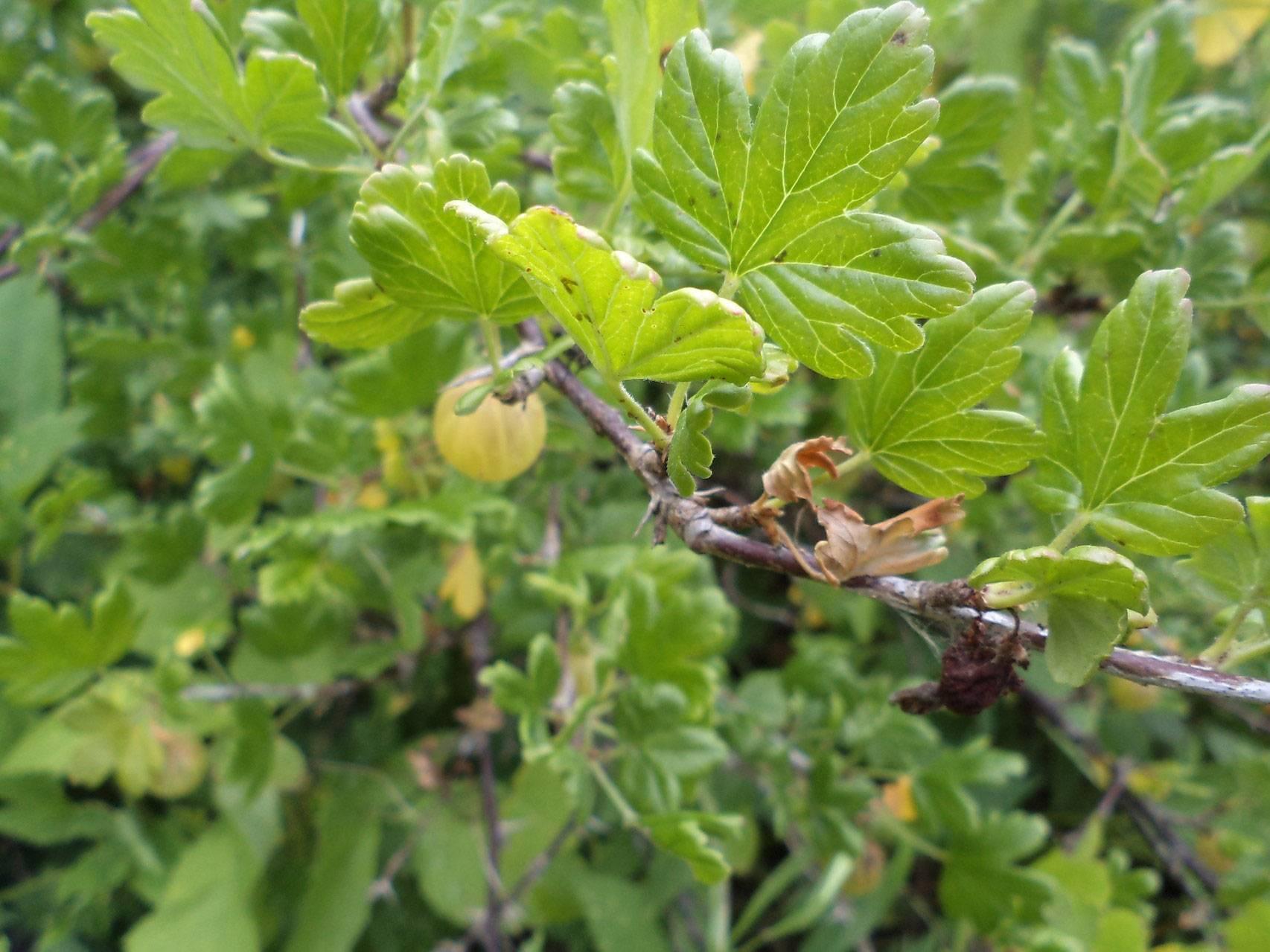Все о русском желтом крыжовнике: описание сорта, размножение и уход за растением