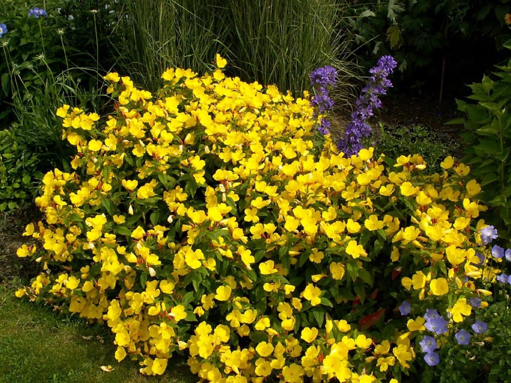 Цветок энотера: выращивание и уход, фото