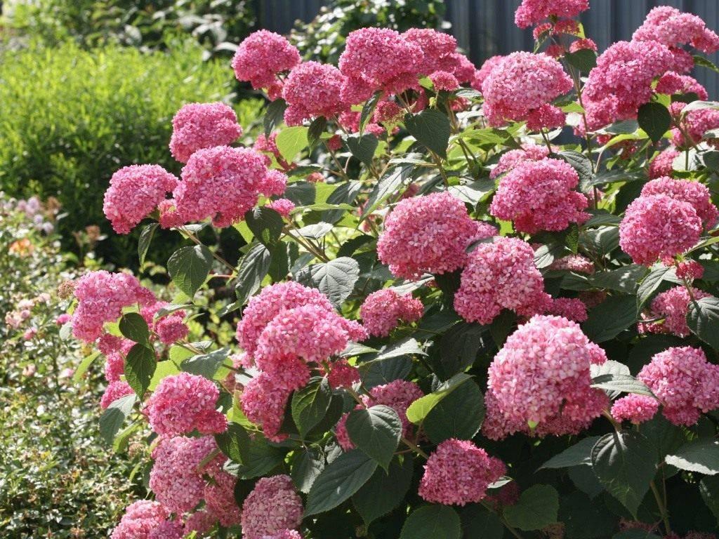 Гортензия (85 фото): что это за цветок? как быстро растет в саду? как выглядят листья? как вырастить в домашних условиях?