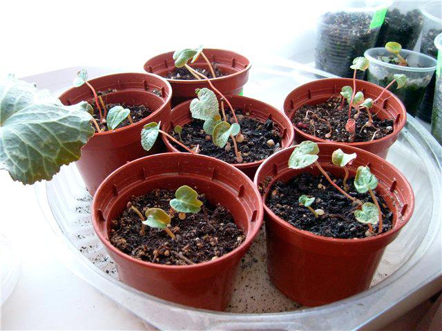 Цикламен из семян в домашних условиях, пошаговое описание