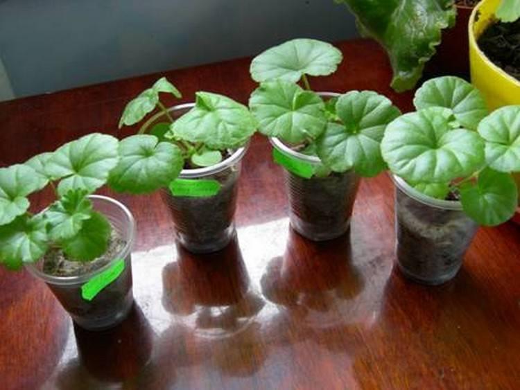 Как вырастить герань из семян? 19 фото когда проводится посев на рассаду? как выглядят семена, как правильно их сеять и выращивать герань?