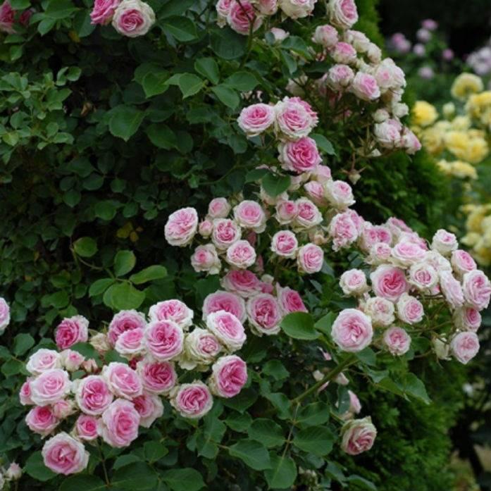 О сортах розы спрей: описание и характеристики, посадка, уход и выращивание