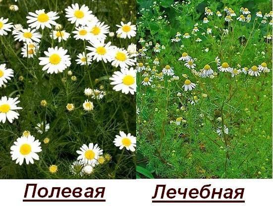 Ромашка аптечная - дикорастущие декоративные растения - greeninfo.ru