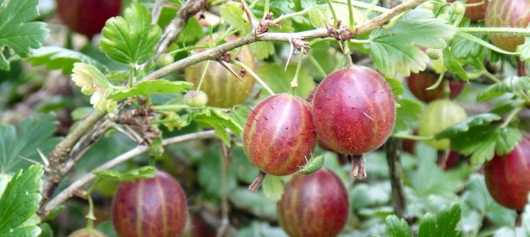 Всё о крыжовнике: описание, свойства, особенности выращивания, дикорастущие виды