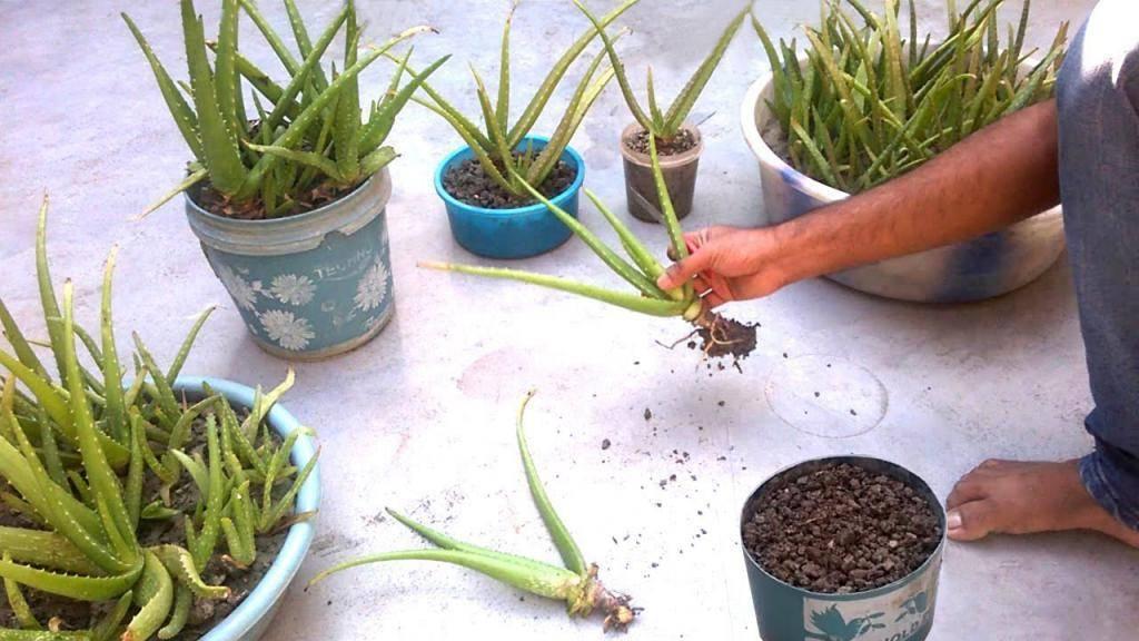 Условия выращивания алоэ в домашних условиях: размножение черенками, листком и отростком