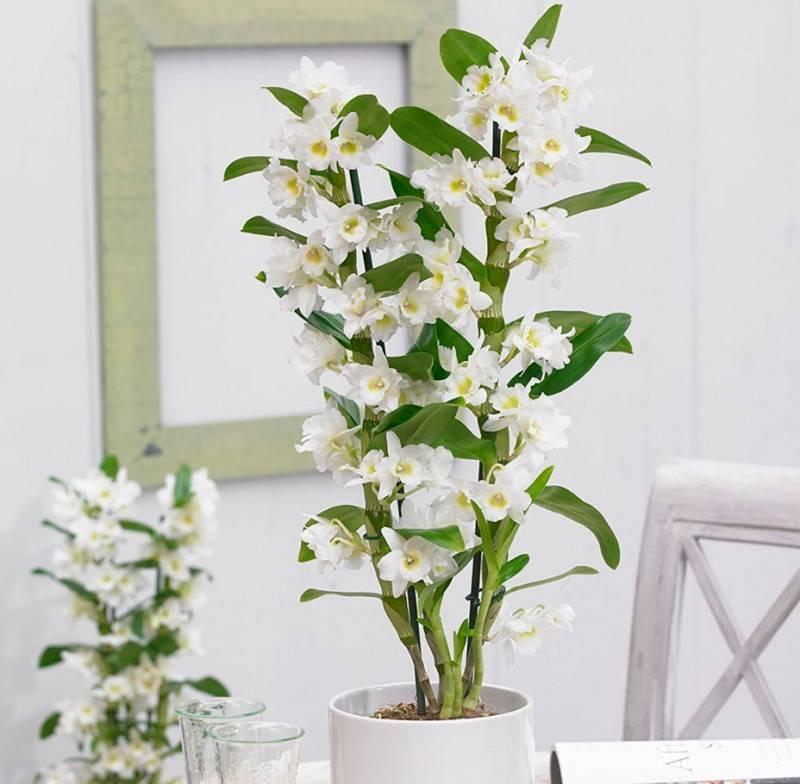 Дендробиум: уход в домашних условиях. орхидея дендробиум: выращивание