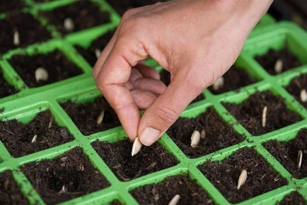 Лаватера выращивание из семян когда сажать на рассаду, в грунт