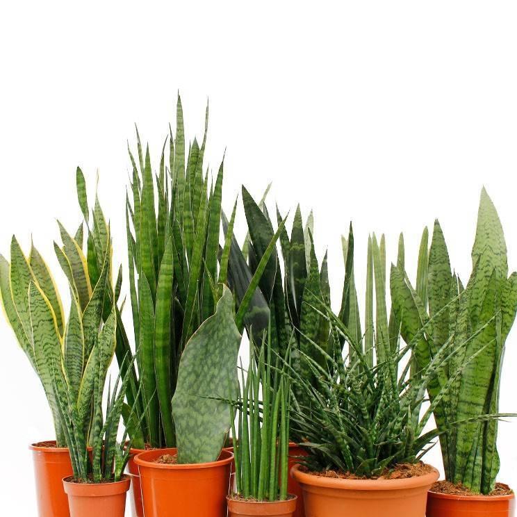 Цветок сансевьера: описание растения с фото - энциклопедия цветов