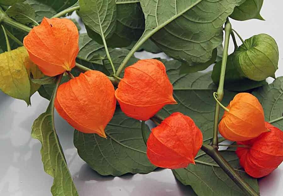 Съедобное украшение: выращиваем физалис ананасовый