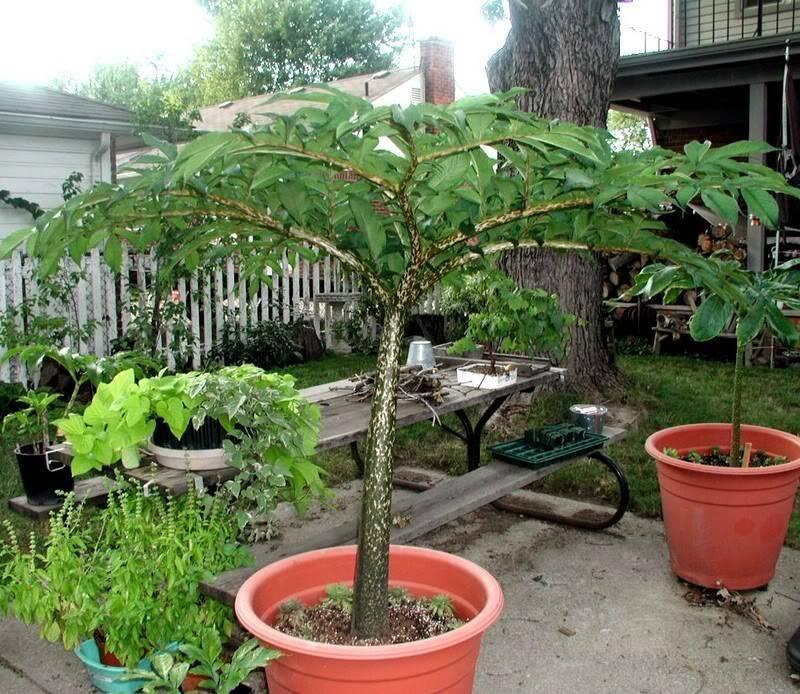 Можно ли выращивать аморфофаллус в качестве комнатного цветка. уход за растением