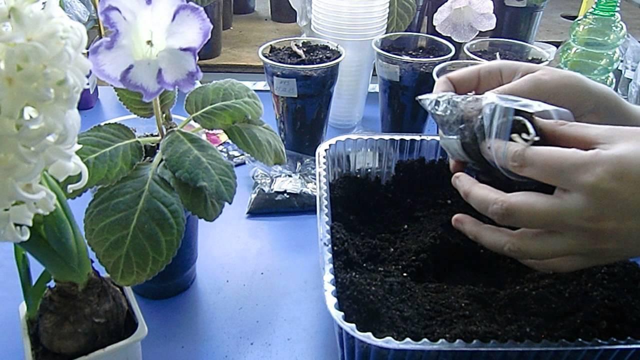 Глоксиния: уход в домашних условиях, размножение и выращивание